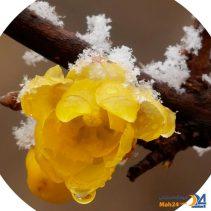 عطر گل یخ