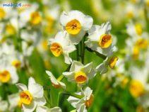 قیمت و خرید عطر گل نرگس