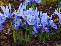 مشخصات قیمت و خرید عطر زنانه گل زنبق Iris flower